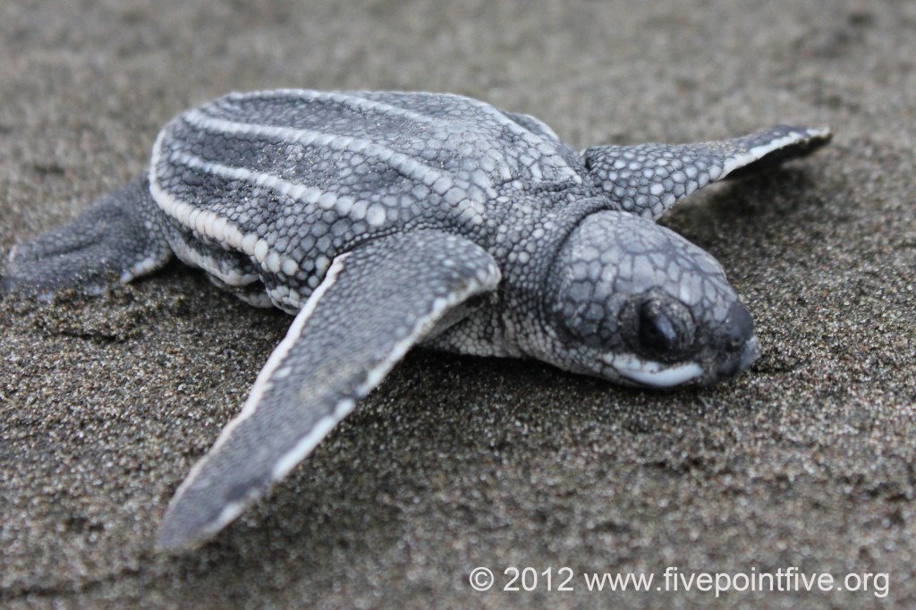Leatherback turtle hatchling heads to the ocean
