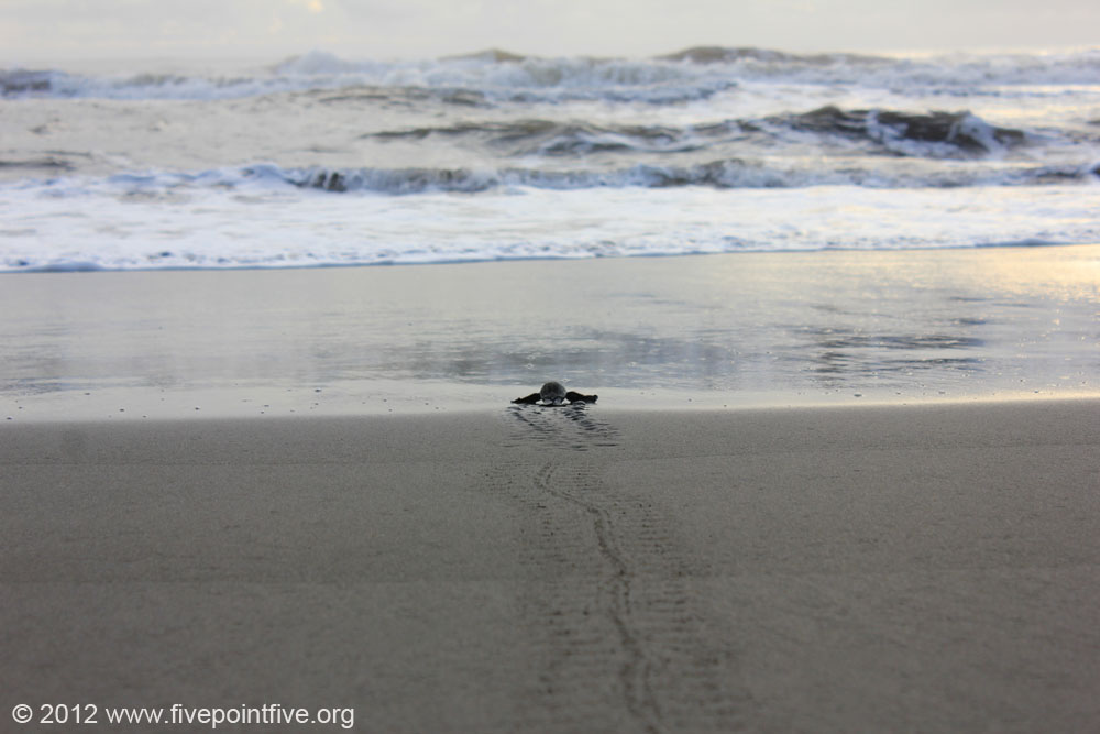 Turtle hatchling reaches the sea