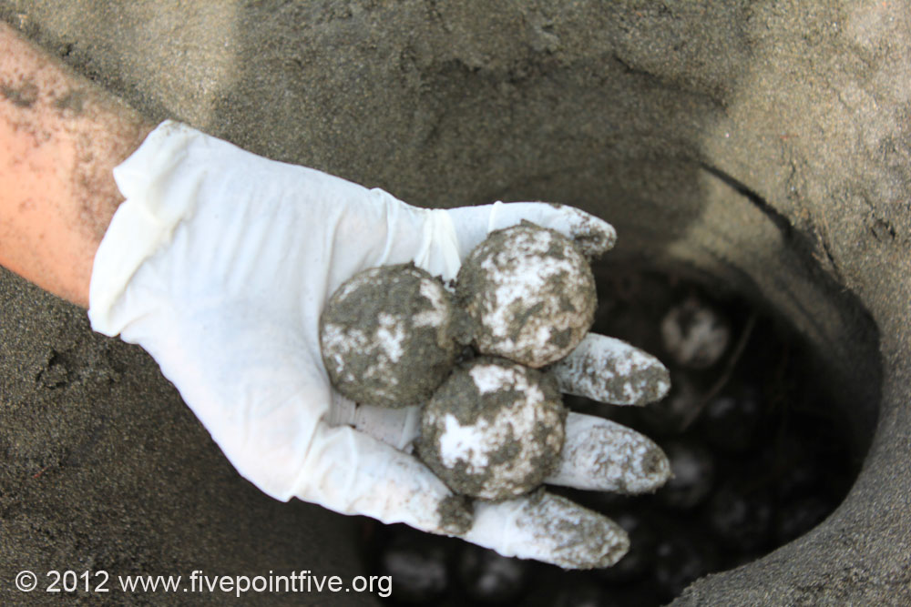 Hawksbill Turtle Eggs