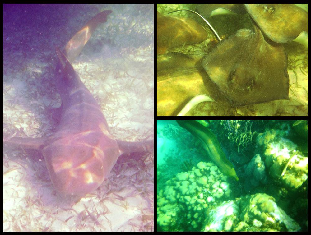 Photo of shark, Snorkel Caye Caulker