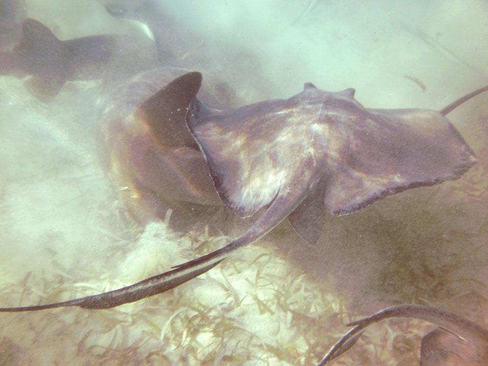 Sting rays Snorkel Caye Caulker