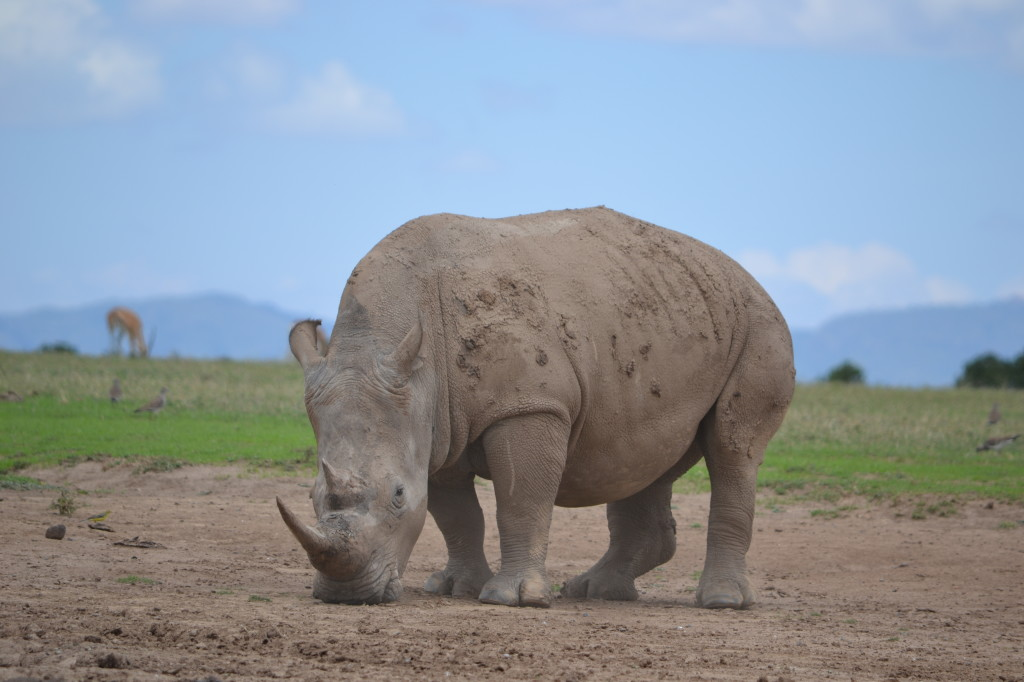 Rhino's are prized for their horns