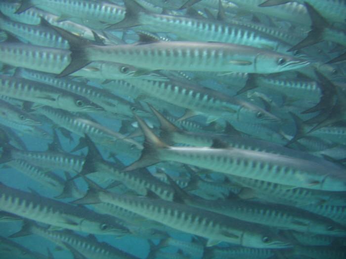 Awesome barracuda