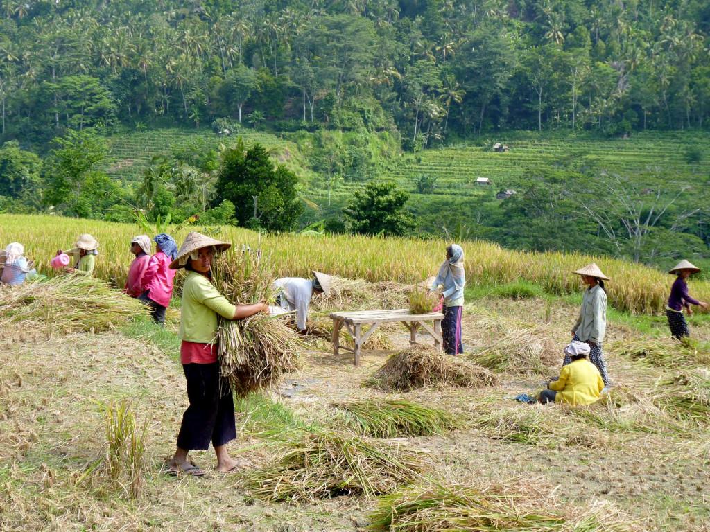 Rice threshing on our doorstep