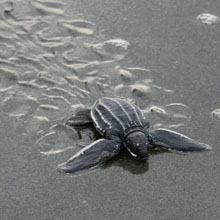 Leatherback Turtle Conservation, Costa Rica