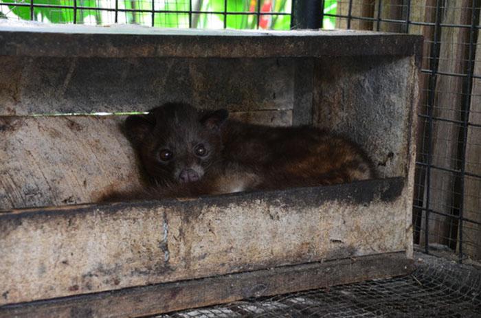Kopi Luwak - Animal Cruelty